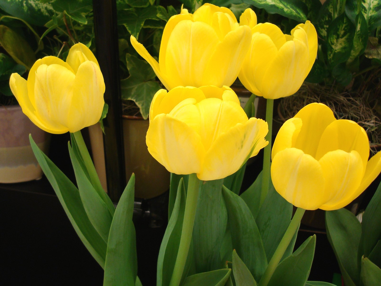 Yellow Tulip Flowers Wallpaper Fanpop