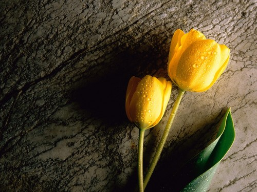 Yellow tulipe, tulip