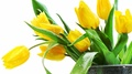 Yellow Tulip - flowers photo