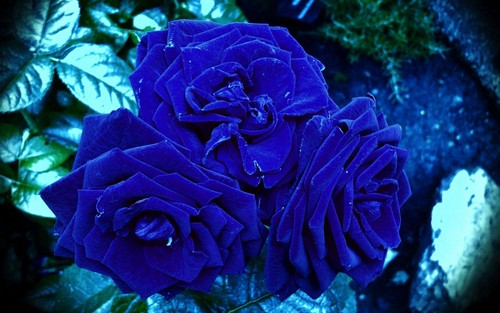Flowers wallpaper containing a red cabbage, a rose, and a bouquet entitled awesome blue roses