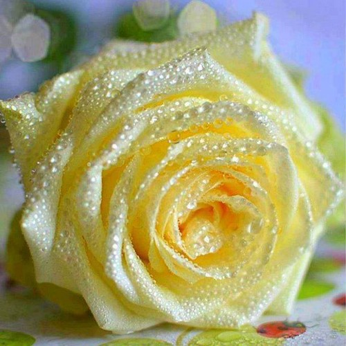 awesome rained rose