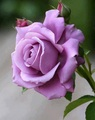 awesome pink rose - flowers photo