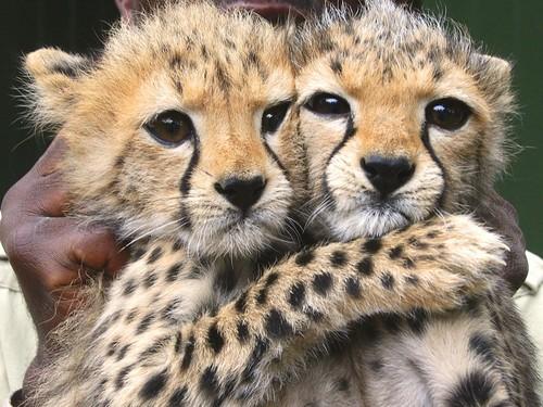 cute cheetah photos