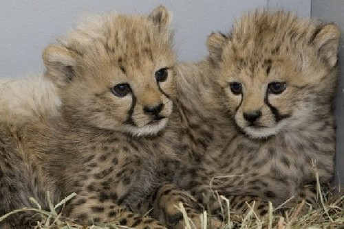 cute cheetah تصاویر