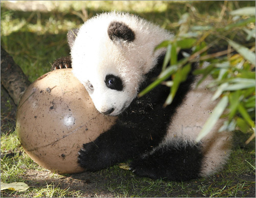 cute panda تصاویر