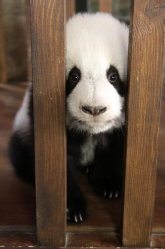 cute panda pics