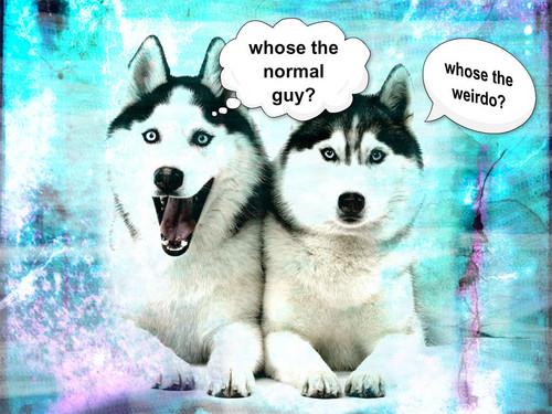 funny huskys