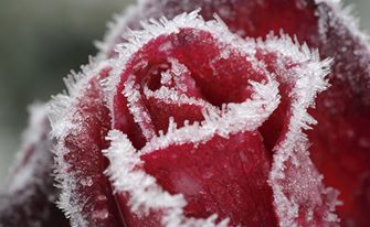 rained/ Frozen - Uma Aventura Congelante rose