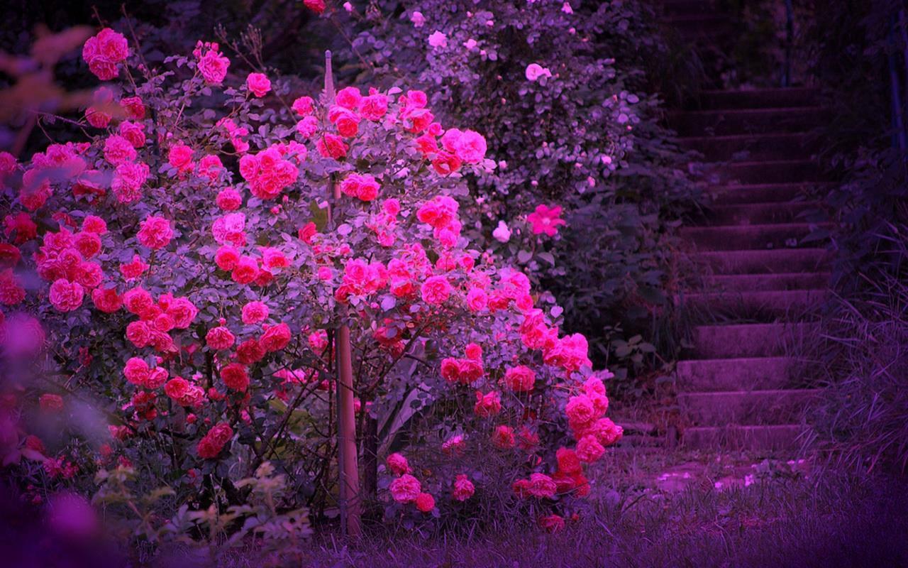 गुलाब वॉलपेपर