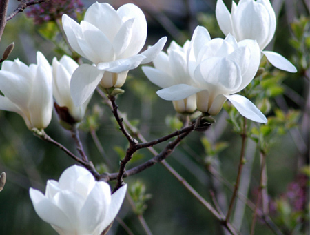 Beautiful White Magnolia
