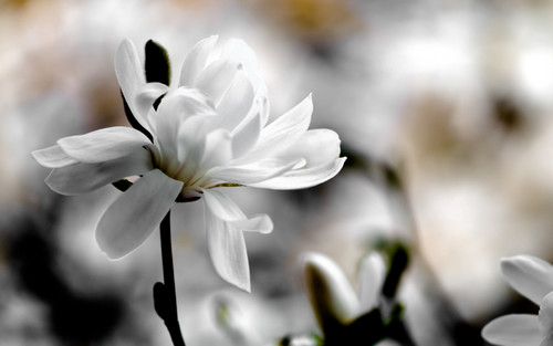 Beautiful White magnolie