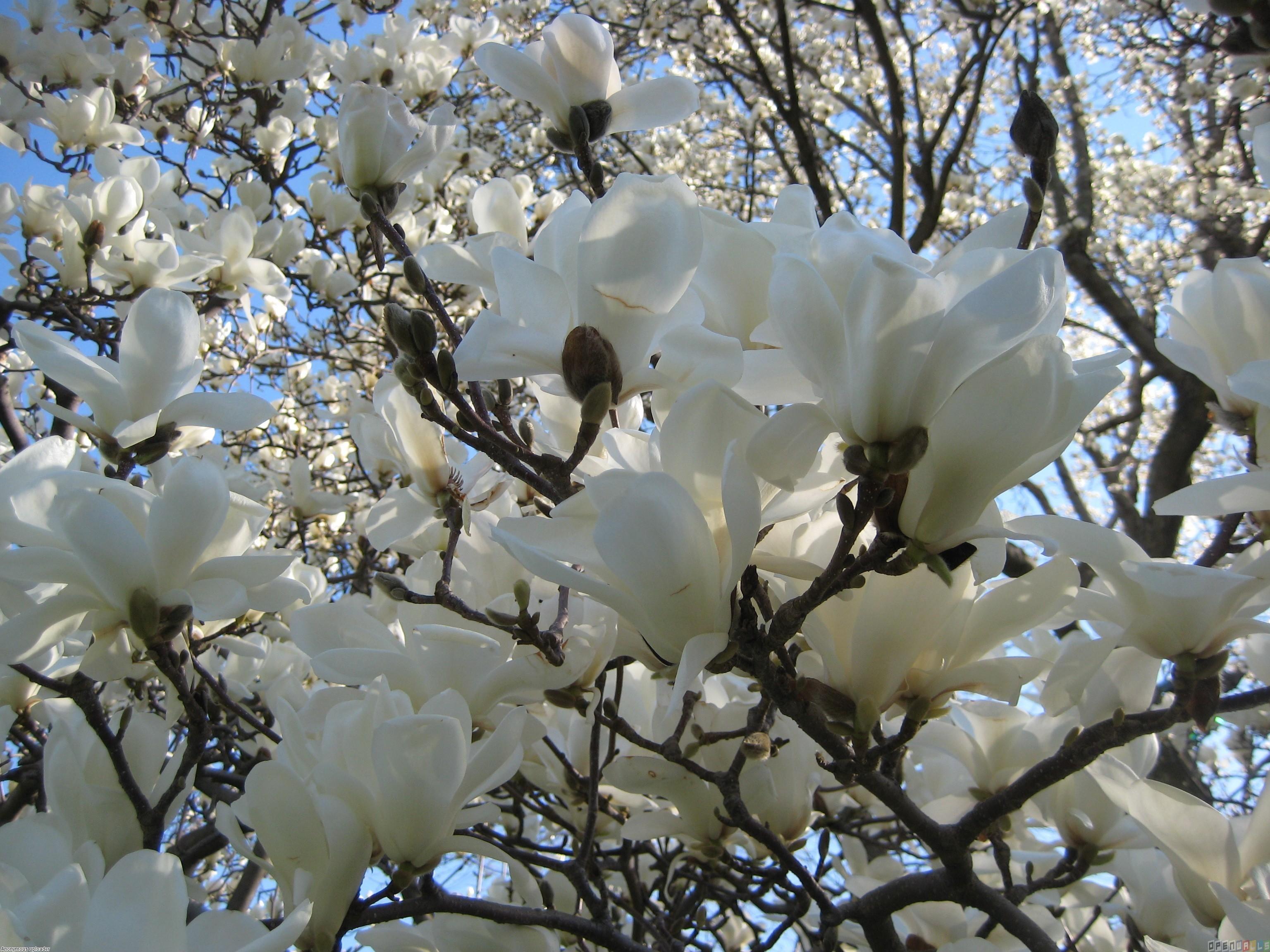 Beautiful white magnolia white wallpaper 34732661 fanpop - Magnolia background ...