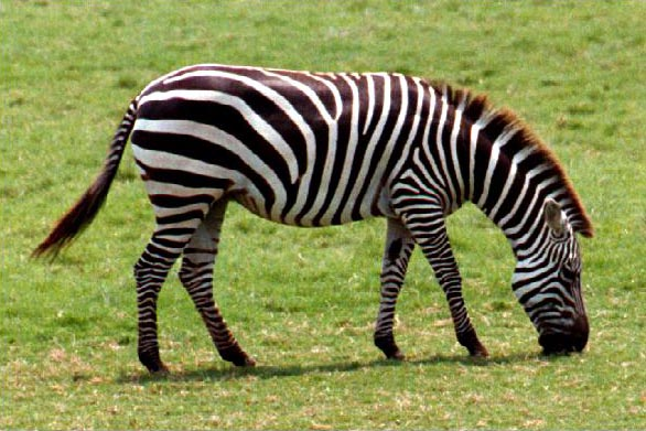 Black and White Zebra - Colors Photo (34704918) - Fanpop