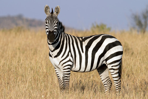 Black and White ngựa rằn, ngựa vằn