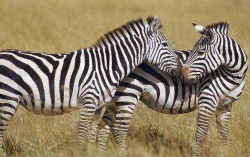 Black and White 斑马