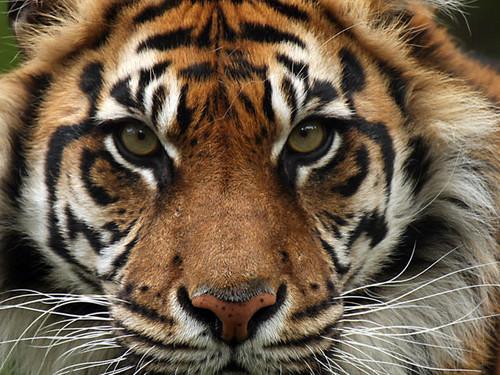 Brownish orange Tiger