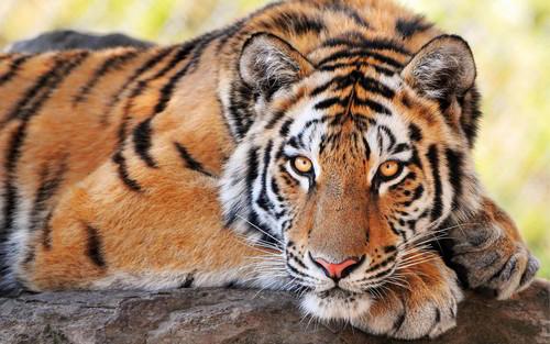 Brownish مالٹا, نارنگی Tiger