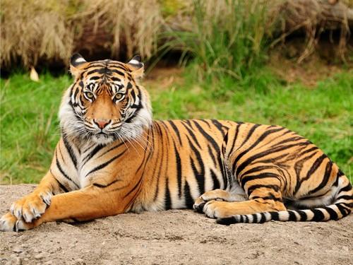 Brownish оранжевый Tiger