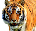 Brownish Orange Tiger