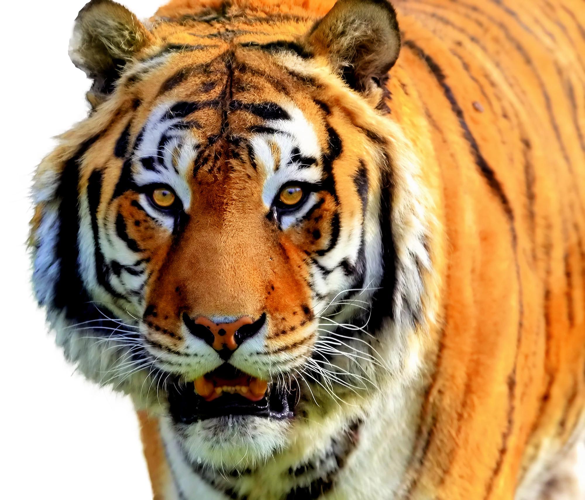 Brownish Orange Tiger - Colors Photo (34705056) - Fanpop