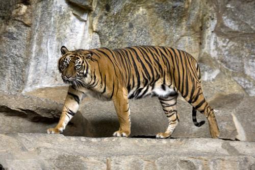 Brownish नारंगी, ऑरेंज Tiger