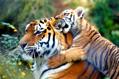 Brownish arancia, arancio Tiger