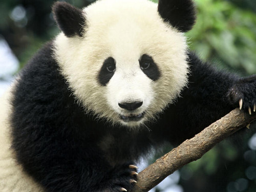Colors Images Cute Black And White Panda Wallpaper And Background Photos (34704632