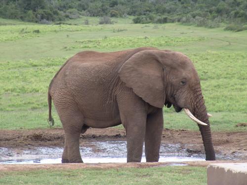 Grey gajah