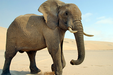 Grey elefante