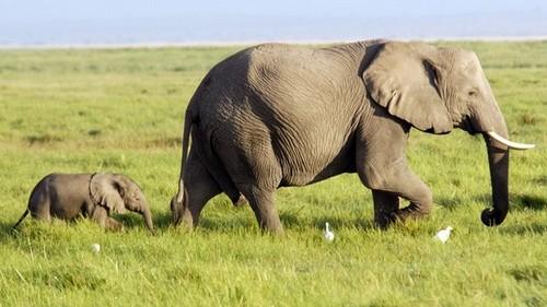 Grey éléphant