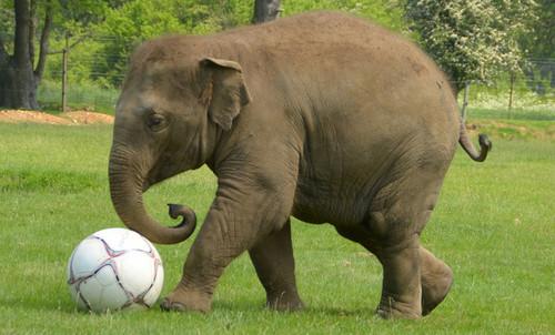 Grey ہاتھی