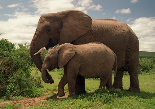 Grey elefant