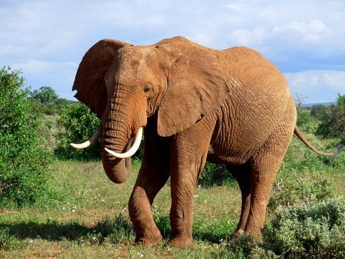 Grey 코끼리