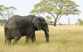 Grey olifant