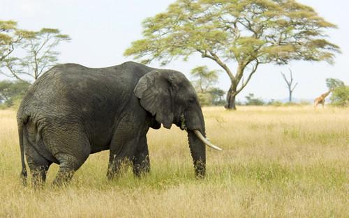 Grey 象, 大象