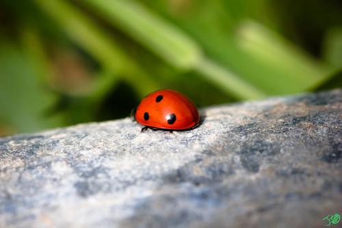 Ladybug tường