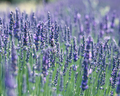 Lavender Scent - purple photo