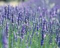 Lavender Scent