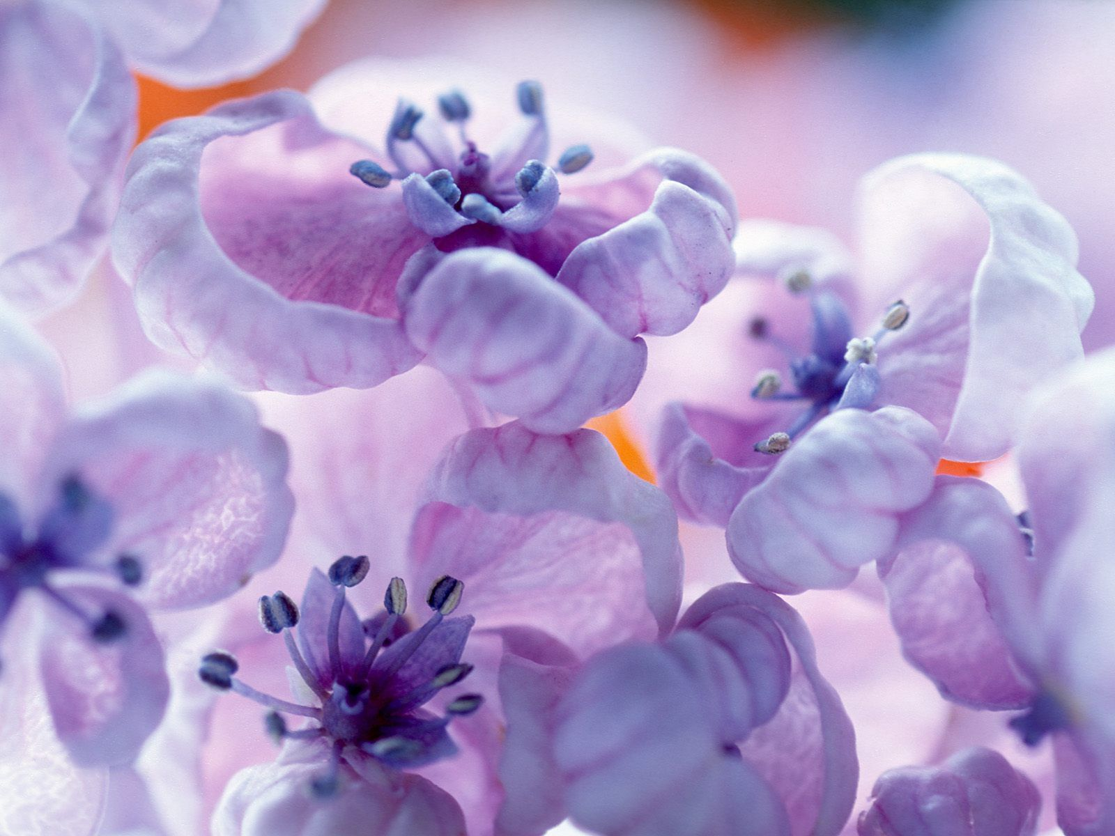 Purple images lilac flower hd wallpaper and background for Purple mauve color