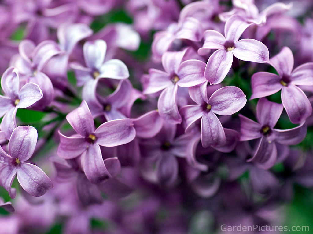 lilac flower purple photo 34733517 fanpop page 7