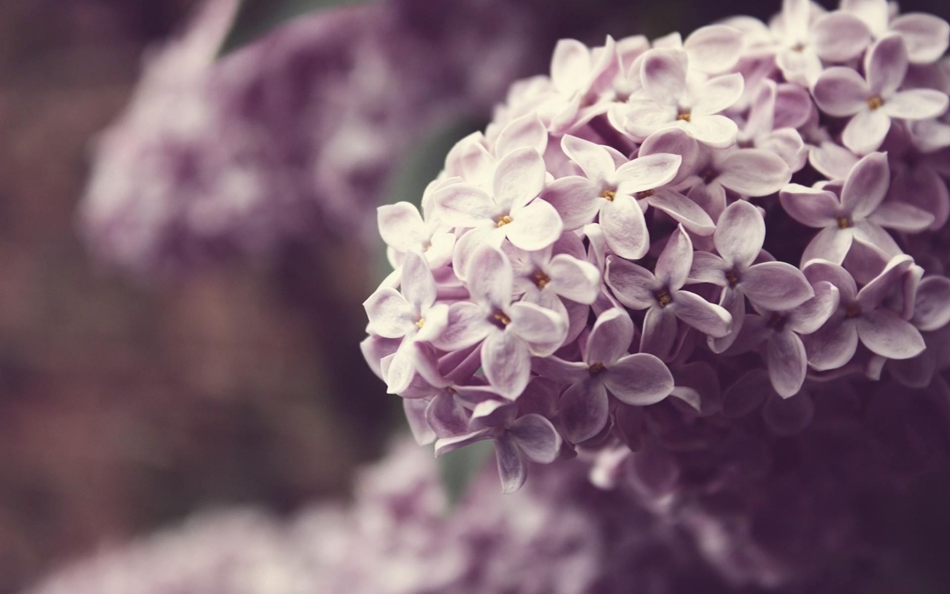 Lilac Flower Purple Fanpop