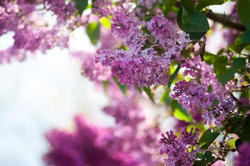 ungu bunga