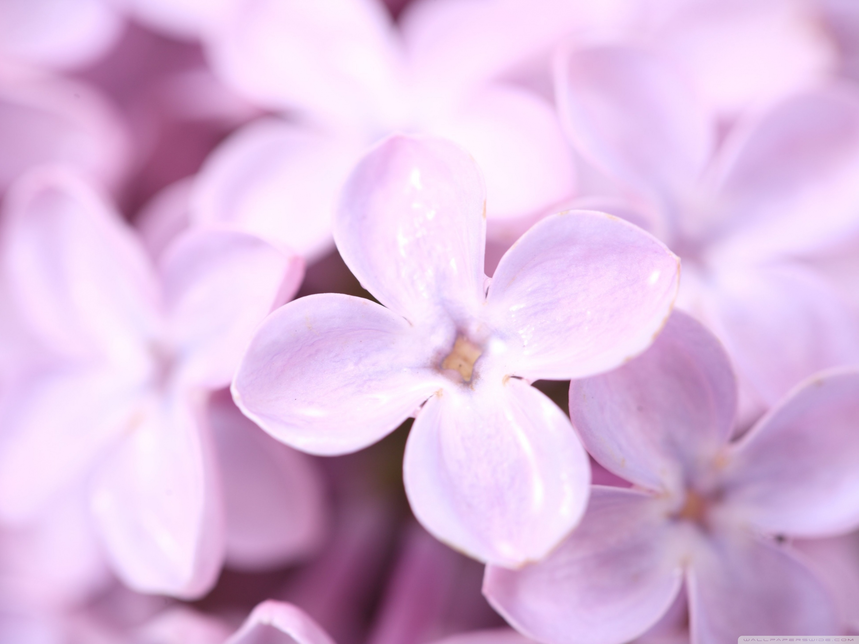 Purple images Lilac Flower HD wallpaper and background photos