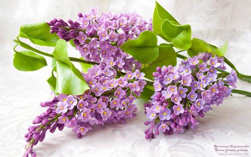 라일락 꽃, 라일락 꽃