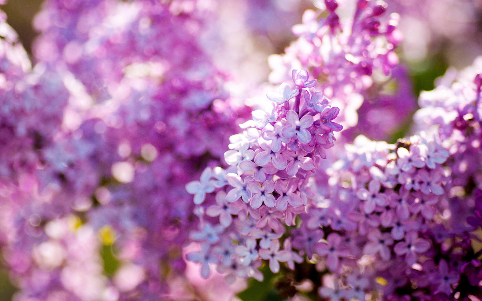 Lilac Flower - Purple Photo (34733603) - Fanpop
