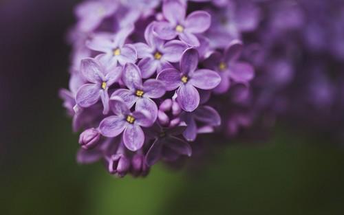 lilás flor