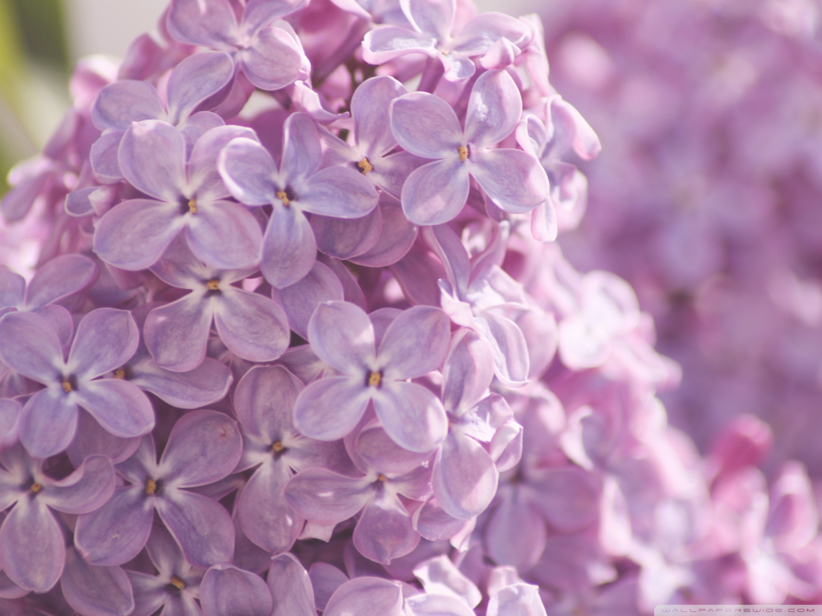 purple images lilac flower hd wallpaper and background