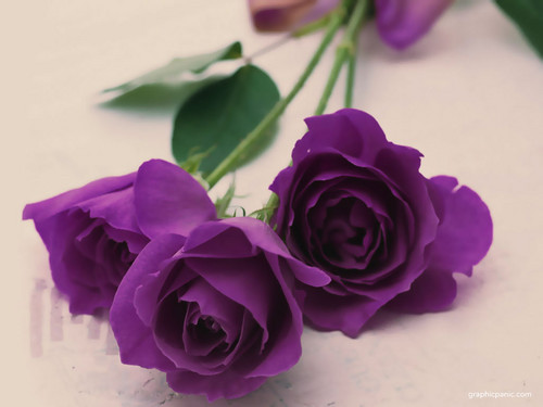 Purple দেওয়ালপত্র with a bouquet, a rose, and a camellia titled Purple Rose