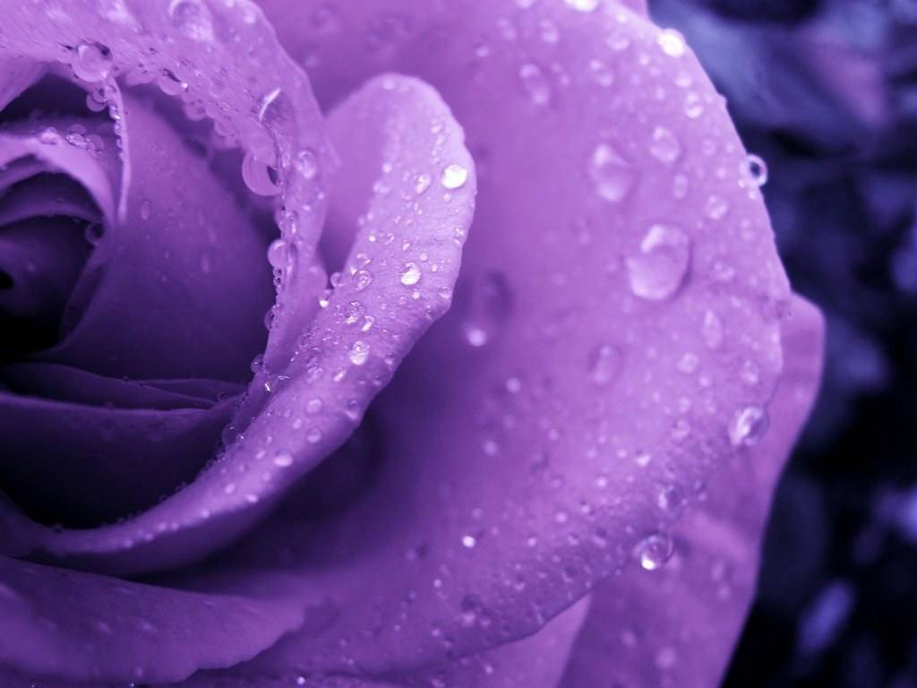 Purple Rose - Purple Wallpaper (34727275) - Fanpop
