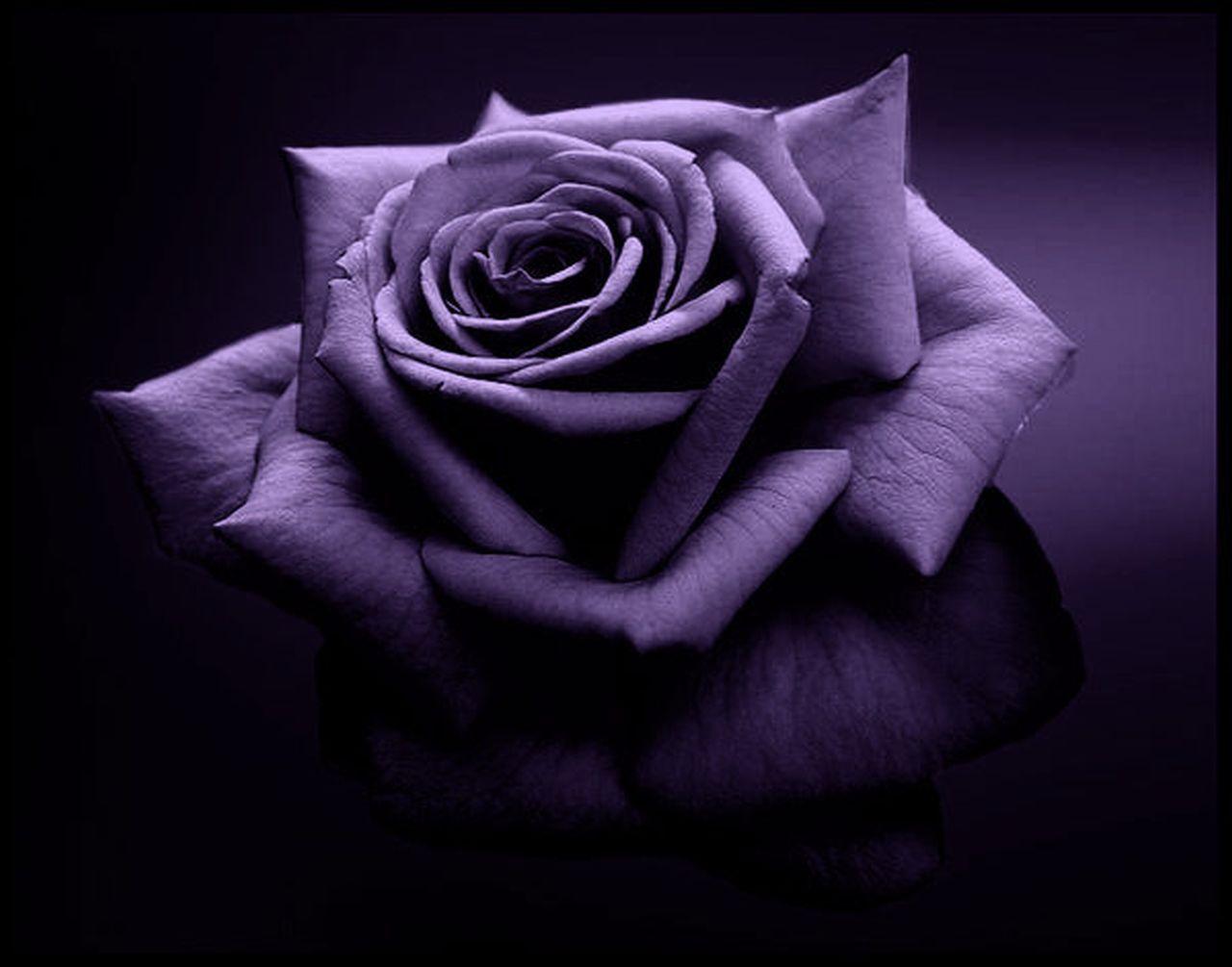 Purple rose purple photo 34727317 fanpop for Purple rose pictures